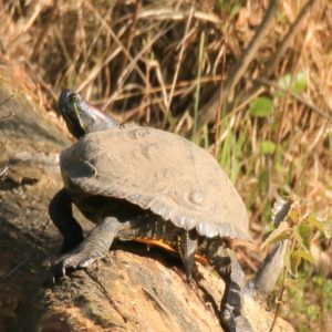 Unieke roodwangschildpad in Oisterwijk